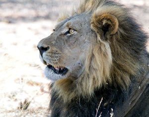 surprised lion