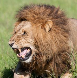 lion ejaculating