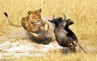 lioness huntin
